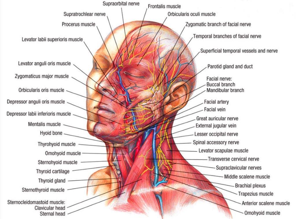 Muscular-Anatomy-Of-Head-and-Neck (2)